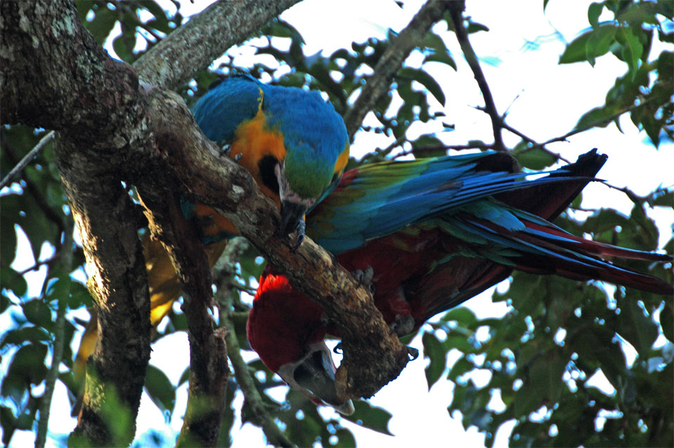 Blue-and-yellow Macaw (Ara ararauna) and a Scarlet Macaw (Ara macao).
