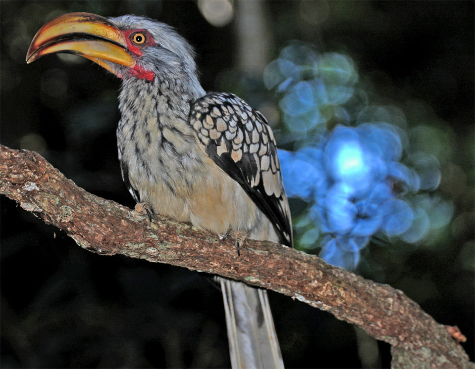 The Southern Yellow-billed Hornbill (Tockus leucomelas).
