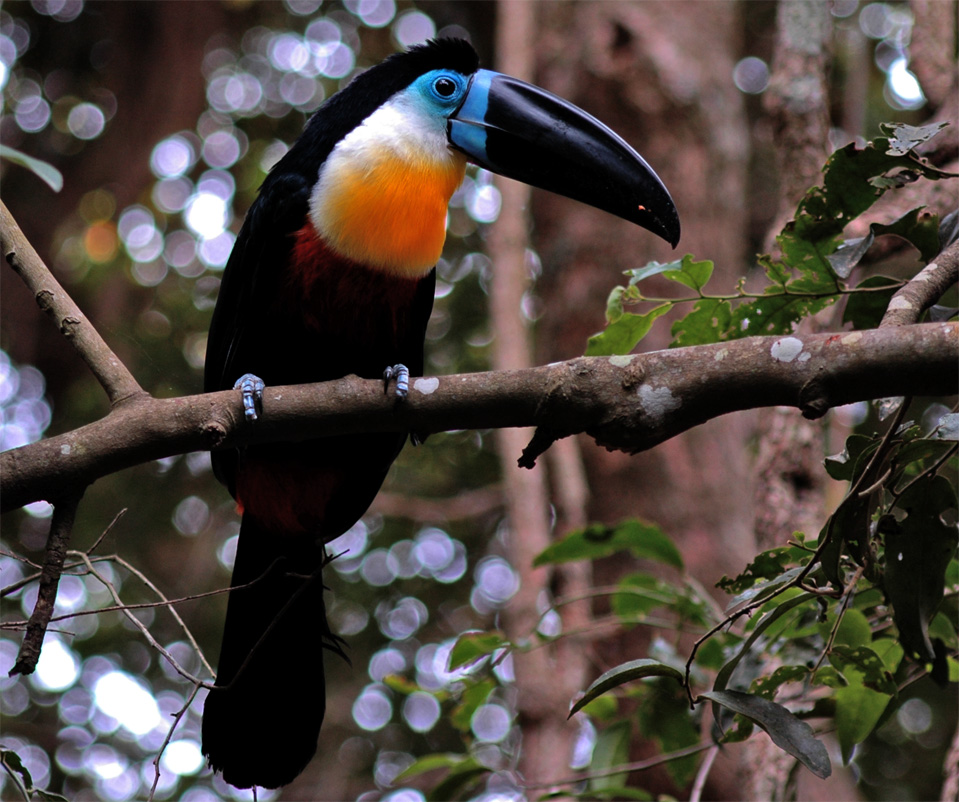 A marvellous, colourful Toucans (Ramphastidae).