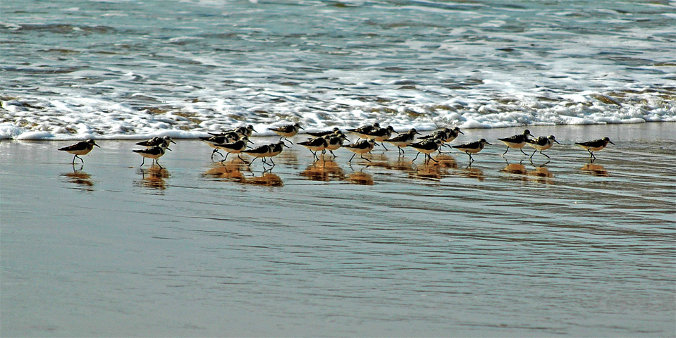Sanderlings searching for food at the ocean.