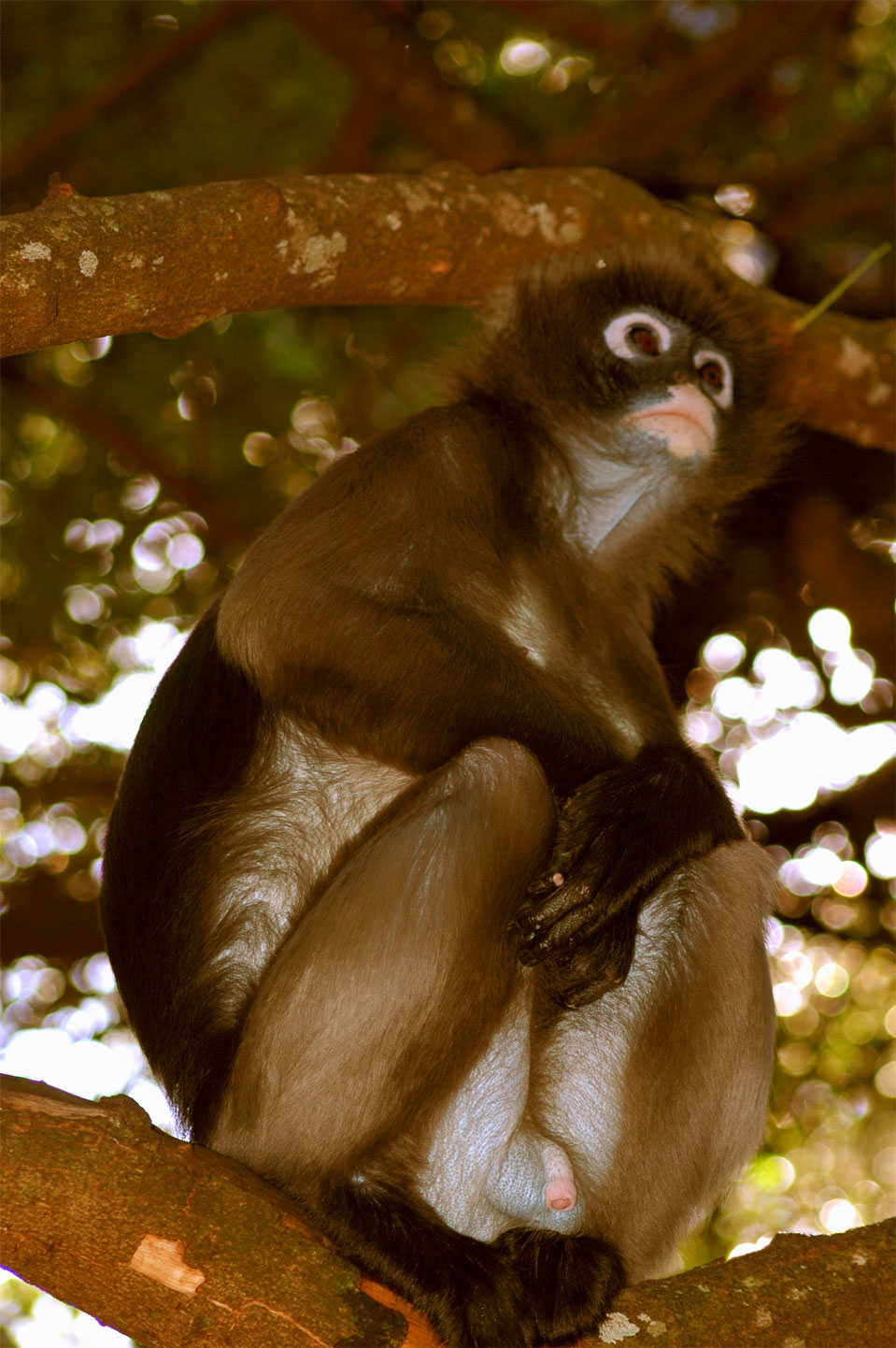 The spectacled langur (Trachypithecus obscurus).