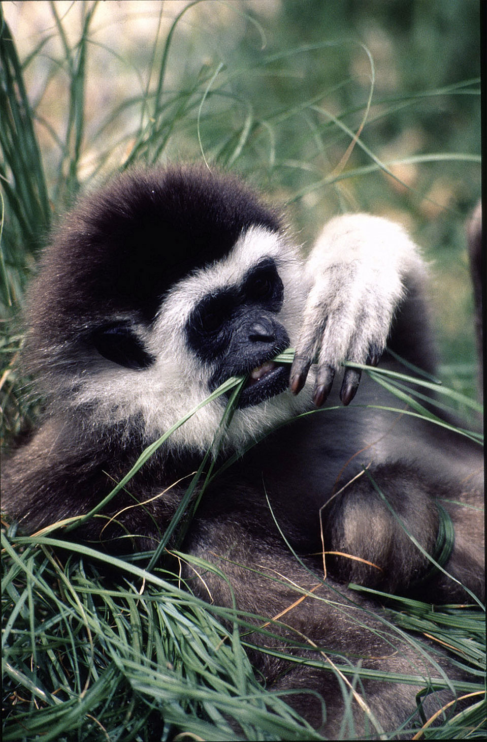 The lar or white-handed gibbon (Hylobates lar).