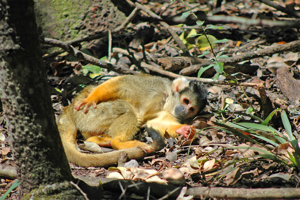 A Squirrel Monkey takes a nap in a spot of the sun on the ground.