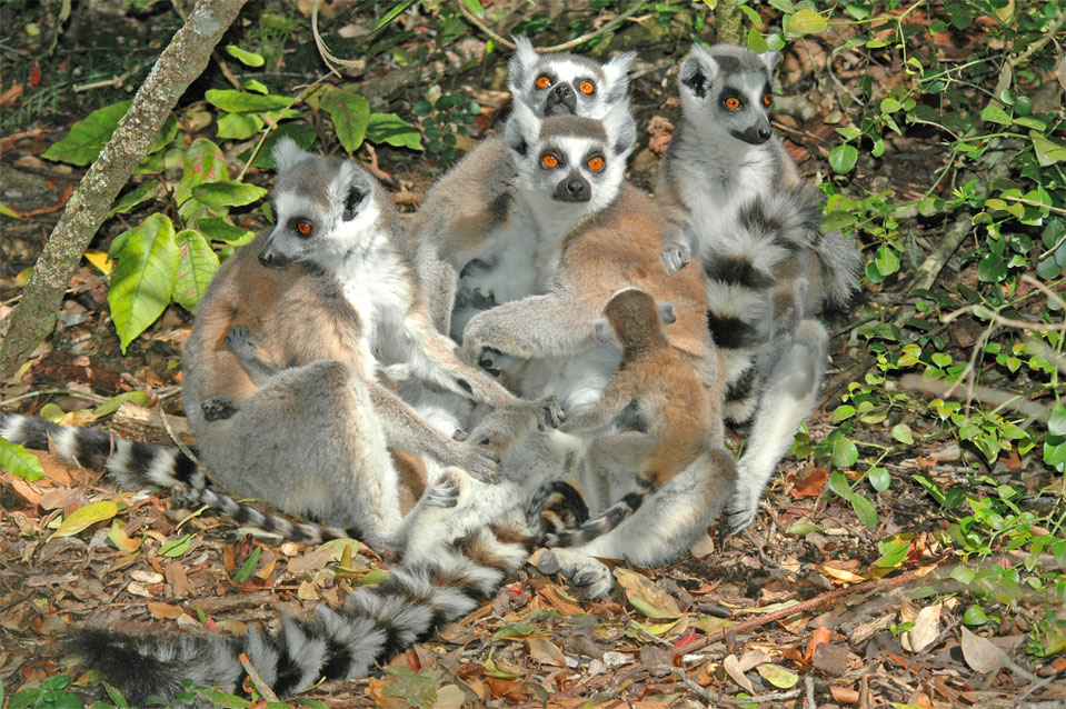 Several Katta moms with its kids cuddle up to each other.