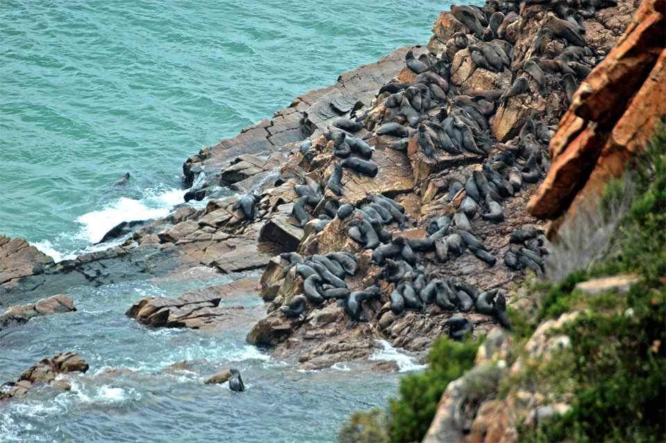 Making a hiking trip at Robberg Nature Reserve you are able to observe the fur seal colony right from the top.