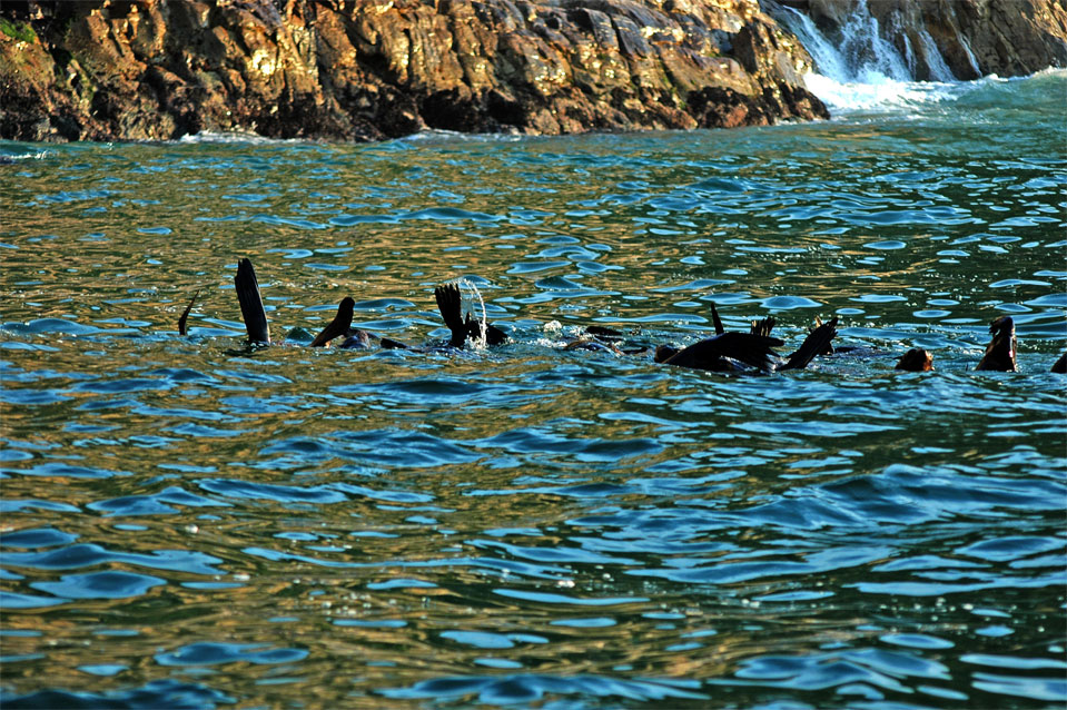 A marine ballet of the fur seal in the afternoon.