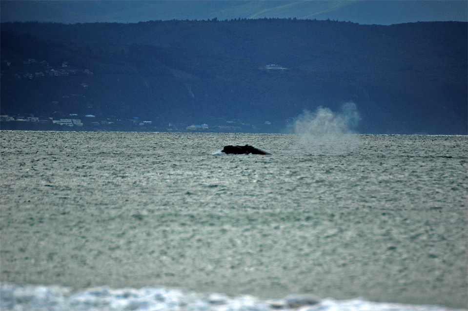 Plettenberg Bay whales | You can see the rest of the blow out of a Southern Right Whale in the Bay of Plettenberg.