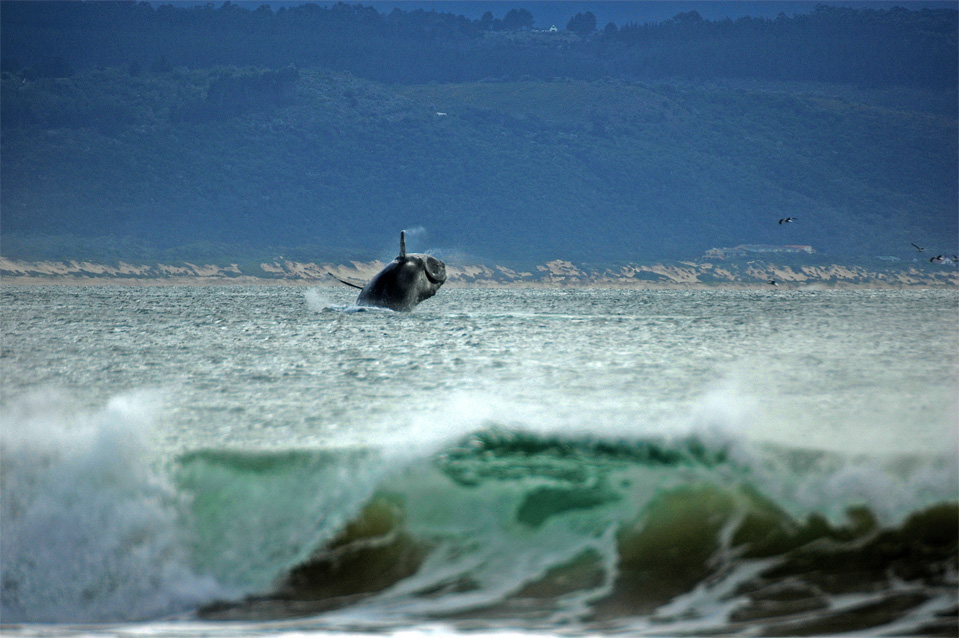 Plettenberg Bay whales | Jumping whale in the Bay of Plettenberg. Spotted from the beach.