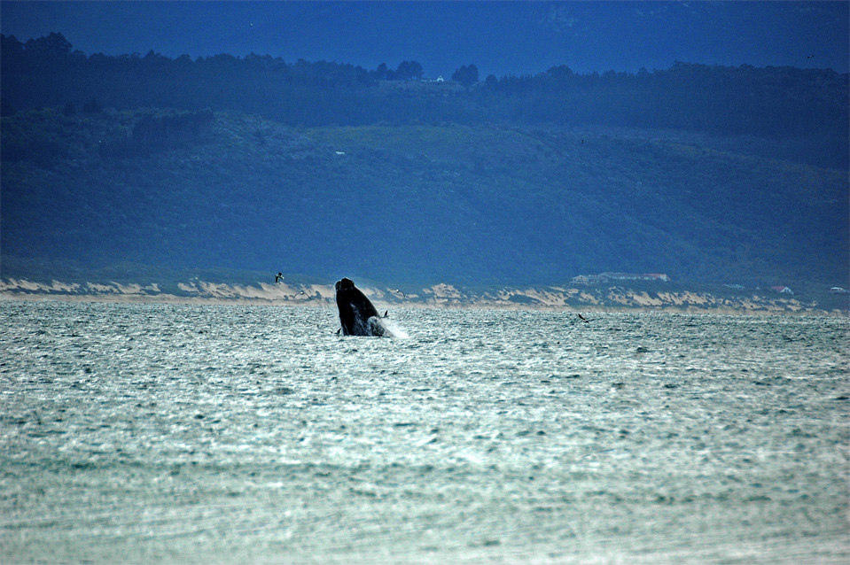 Plettenberg Bay whales | Jumping Southern Right Whale in the Bay of Plettenberg.