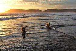 Dogs have fun by an early morning bath in the bay of Plettenberg Bay.